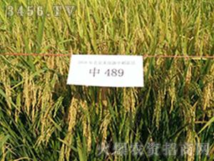 中489-水稻种子-禾佳源