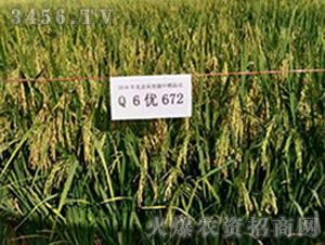 Q6优672-水稻种子-禾佳源