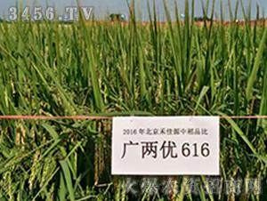广两优616-水稻种子-禾佳源