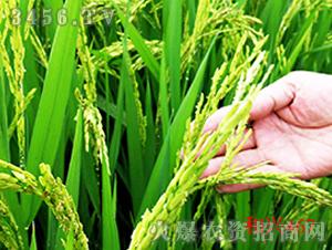 禾兴467-水稻种子-禾佳源