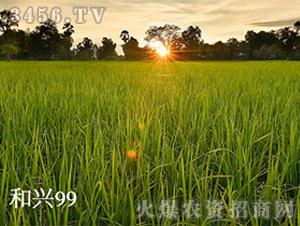 禾兴99-水稻种子-禾佳源