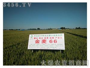 小麦品种-金麦66-��丰种业
