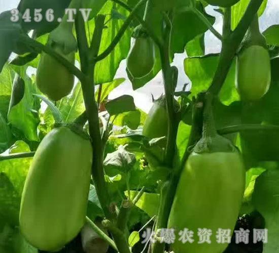 优质茄子苗-魏氏农业