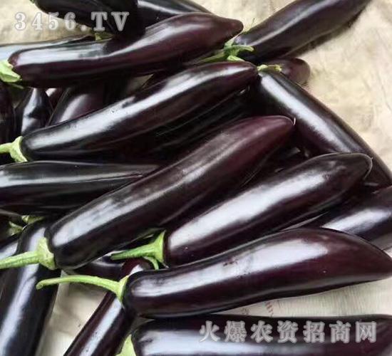 高产长茄子苗-魏氏农业