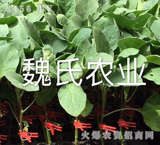 高产优质茄子苗-魏氏农