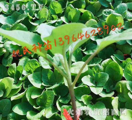 茄子苗-魏氏农业