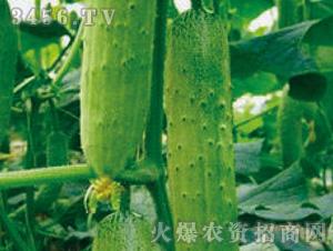 黄瓜苗-汉森-魏氏农业