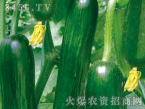黄瓜苗-凯迪-魏氏农业