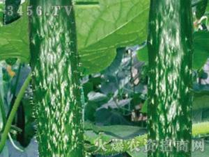 黄瓜苗-津威168-魏氏农业