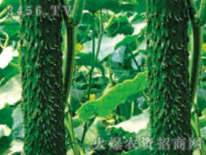 黄瓜苗-飞越-魏氏农业