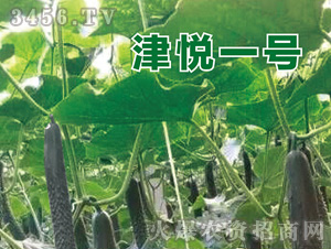 黄瓜苗-津悦一号-魏氏农业