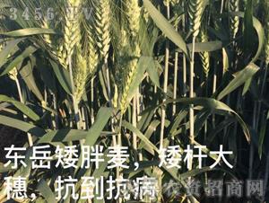 东岳矮胖麦-泰山种业