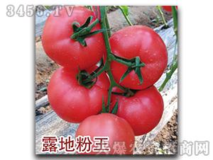 西红柿种子-露地粉王-瑞恒种业