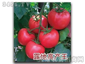 西红柿种子-露地高产王-瑞恒种业