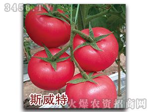 西红柿种子-斯威特-瑞恒种业