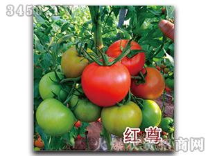 西红柿种子-红尊-瑞恒种业