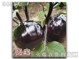 茄子种子-圆宝-瑞恒种业