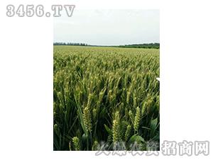 小麦种子-西农668-辉耀盈门