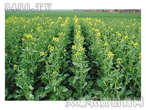 油菜种子-周油589-辉耀盈门
