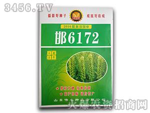 小麦种子-邯6172-伟丰种业