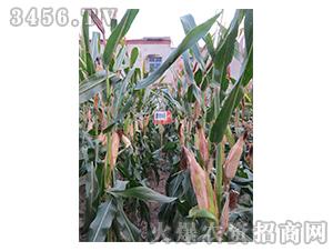 鹰丰6号-玉米种子-红