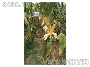 祥玉588-玉米种子-红旗种业
