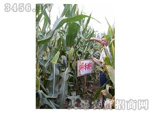 祥禾捌号-玉米种子-红旗种业