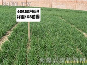 祥创168-小麦种子-红旗种业