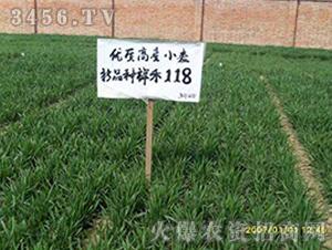 祥创118-小麦种子-红旗种业