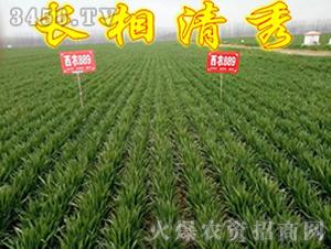 西农889-小麦种子-红旗种业