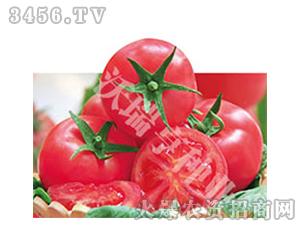 鼎吉娜213-番茄种子-沃瑞亨