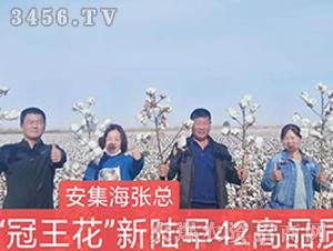 新陆早42棉花种观摩图6