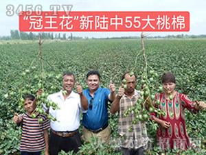 新陆中55棉花种观摩图