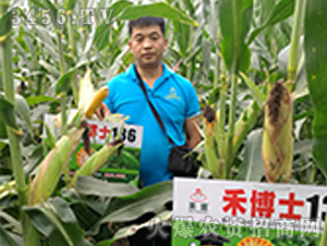 禾博士136玉米种观摩效果图