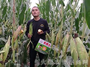 禾博士136玉米种子观摩效果图