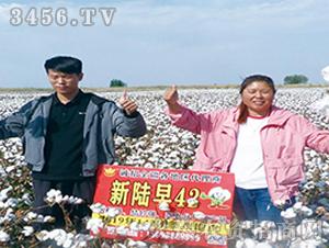 新陆早42棉花种观摩图2