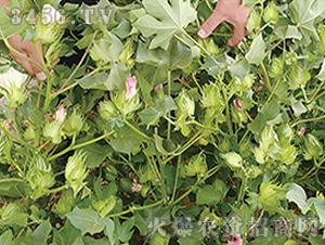 新陆早42棉花种观摩图4