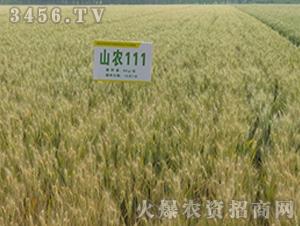 山农111-小麦种子-连发农业