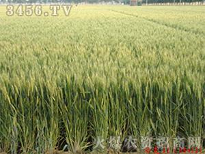 济麦22-小麦种子-中江种业