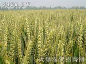 淮麦26-小麦种子-中江种业
