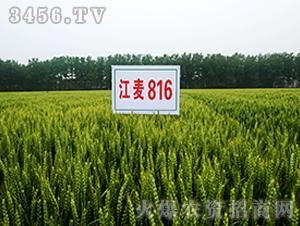 江麦816-小麦种子-中江种业