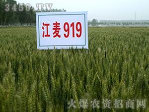 江麦919-小麦种子-中江种业