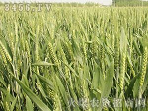 江麦23-小麦种子-中江种业
