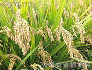 武运粳23号-粳稻种子-中江种业