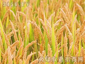 武运粳21号-粳稻种子-中江种业