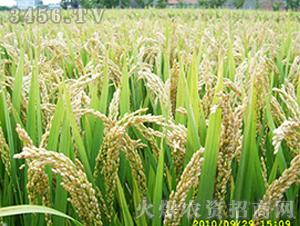 苏粳815-粳稻种子-中江种业