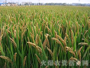 嘉58-粳稻种子-中江种业