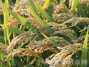 常农粳10号-粳稻种子-中江种业