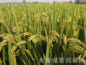 常农粳8号-粳稻种子-中江种业