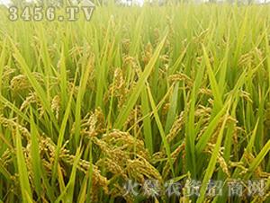 连粳16-粳稻种子-中江种业